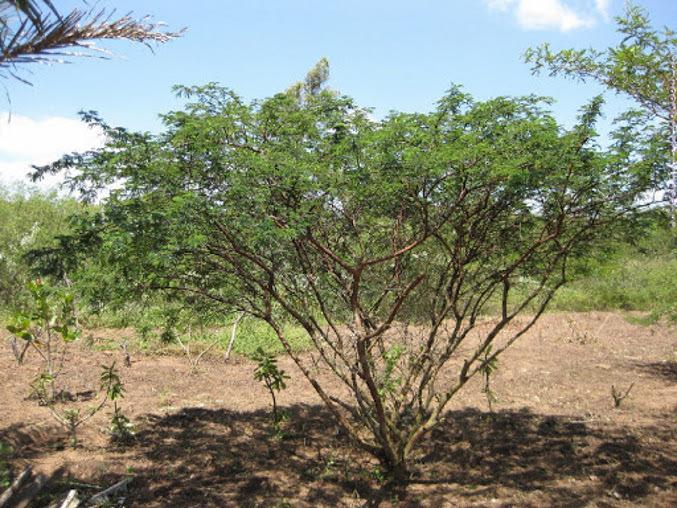 arbol de tepezcohuite