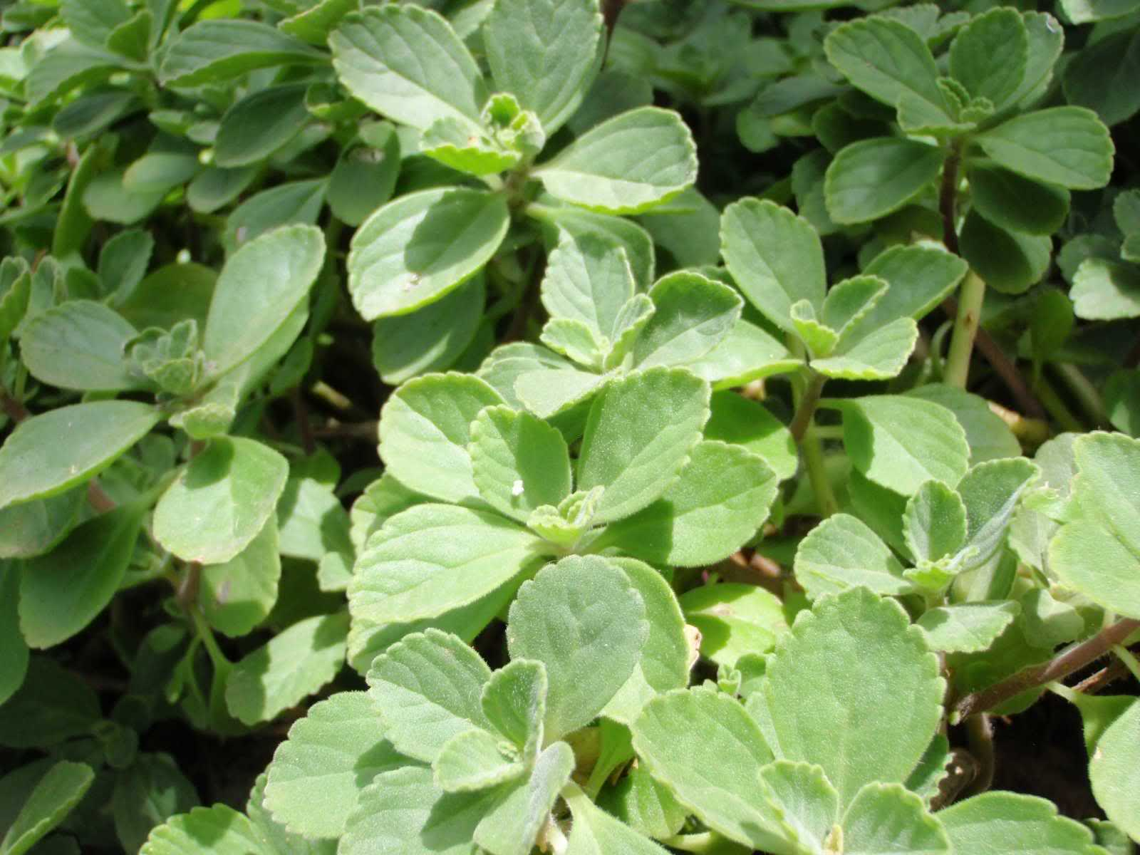 hierba-boldo