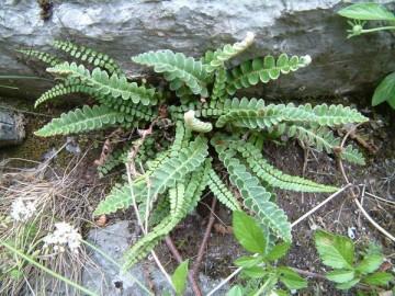 doradilla selaginella lepidophylla