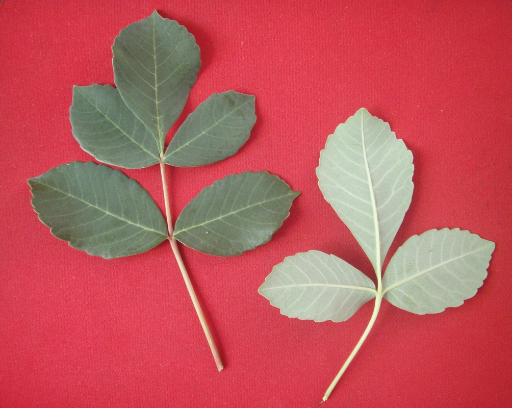 hojas de cuachalalate