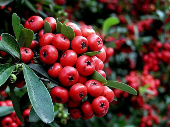 Descubre la ping ica planta medicinal for Que se planta en septiembre